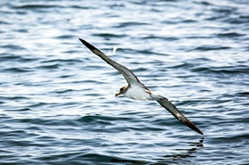 Sea bird with wings spread above water