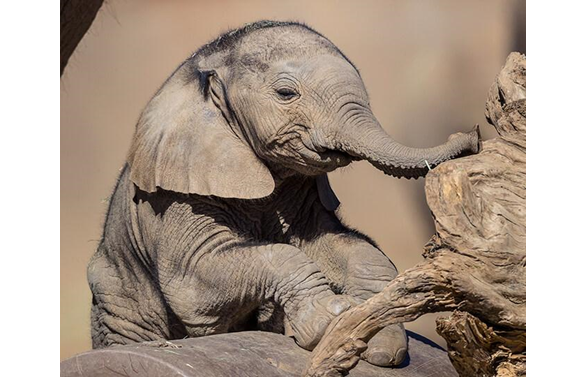 photo of young elephant